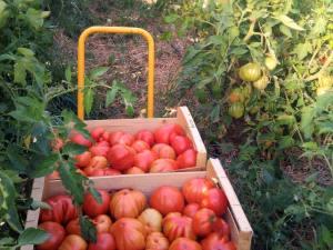 Manu, le paysan moderne, qui vend des légumes bio à Marseille (tomates)